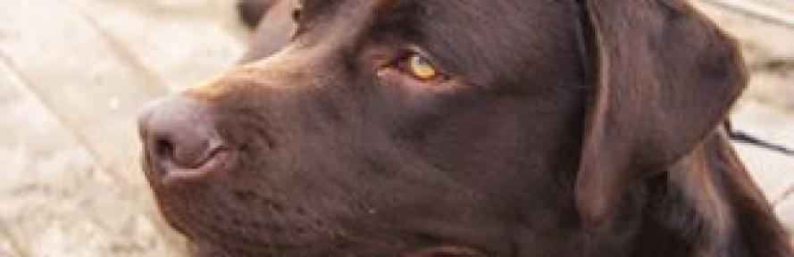 La cover di Tango labrador